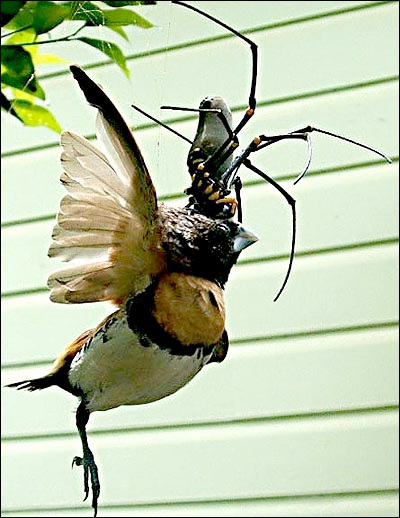 Golden Orb Weaver Eating Bird